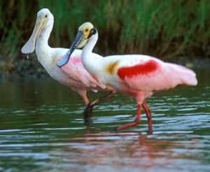 roseate_spoonbill1small
